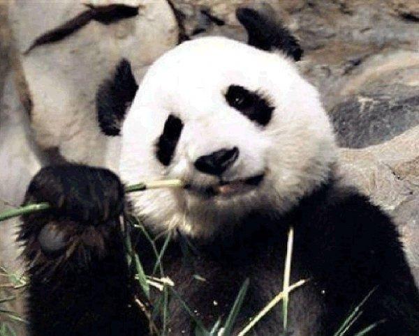 В Китае панды белеют из-за неизвестной болезни