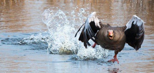 Смелые гуси, прогнавшие голодного аллигатора, попали на видео
