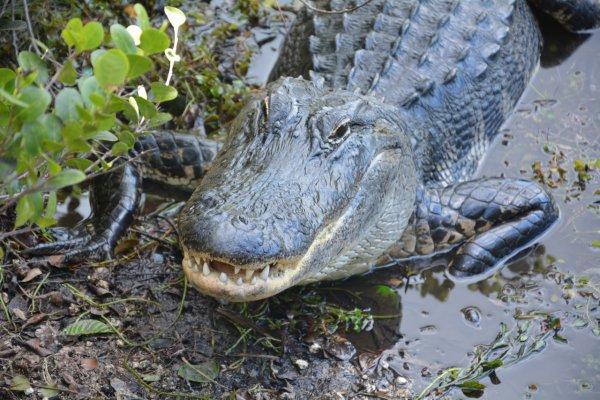 В США аллигатор утащил под воду ребёнка
