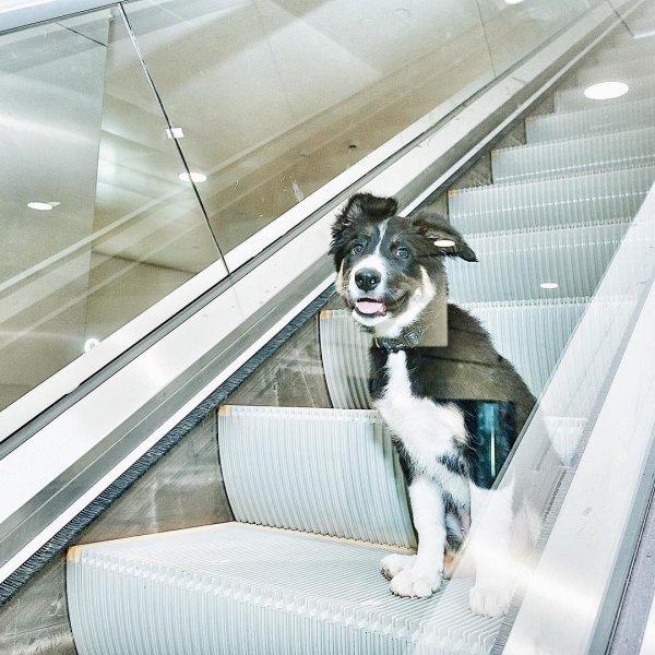 У талисмана аэропорта «Симферополь» собаки Алисы появились фанаты