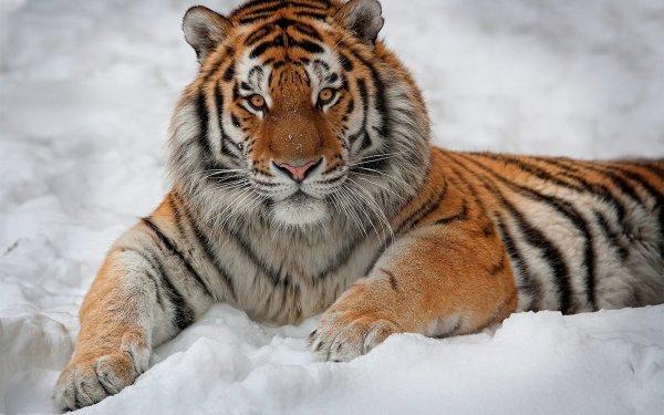 Впервые в России будет проведен «мягкий» выпуск тигров в дикую природу