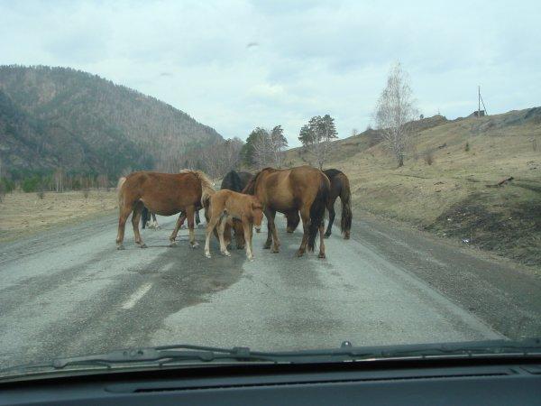 В Великобритании сбежавшие лошади на несколько часов заблокировали шоссе