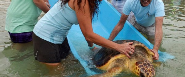 На архипелаге Флорида-кис нашли запутавшуюся в сетях 150-килограммовую черепаху
