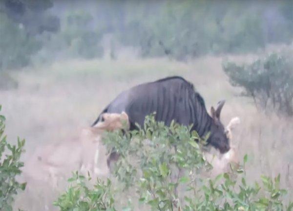 Счастливый конец: две львицы не смогли справиться с антилопой гну