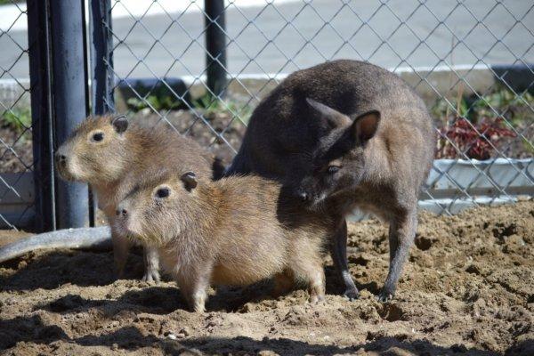 В Сахалинском зоопарке кенгуру взял под опеку двух капибар