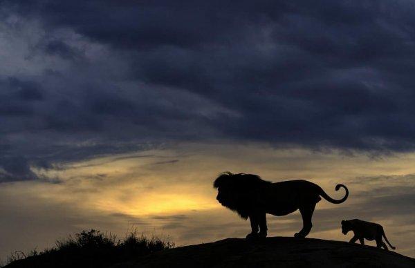 Лев и его детеныш воссоздали культовую сцену мультфильма «Король Лев»