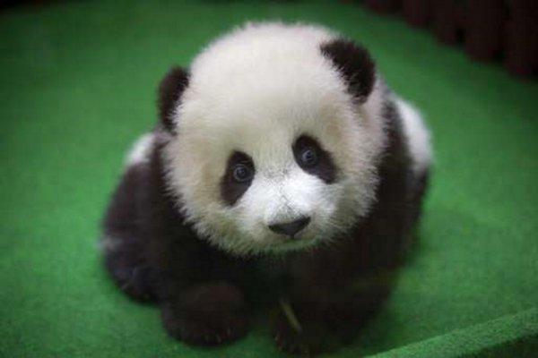 В зоопарке Малайзии впервые показали детёныша редкой панды