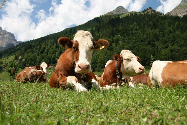 В Болгарии могут усыпить корову за незаконное пересечение границы ЕС