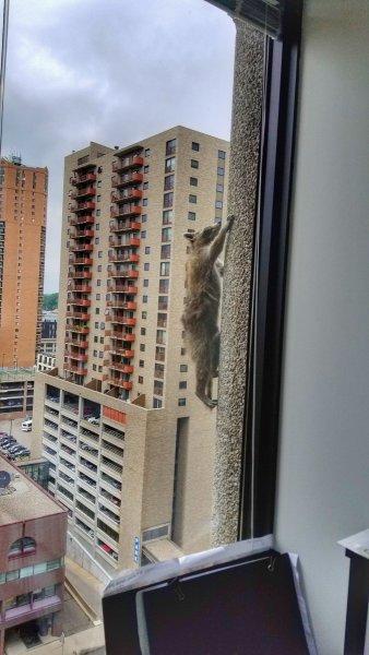 Американцы переживают за судьбу енота, забравшегося на небоскреб