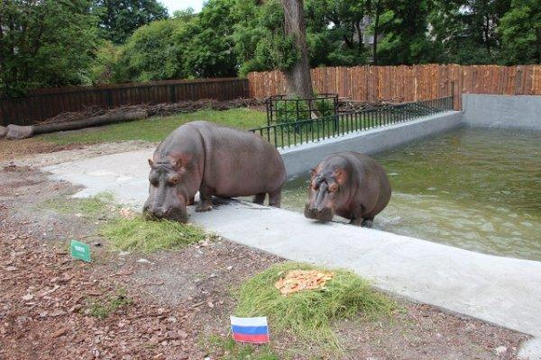 Бегемоты-пророки из Калининградского зоопарка предсказали исход первого матча ЧМ-2018