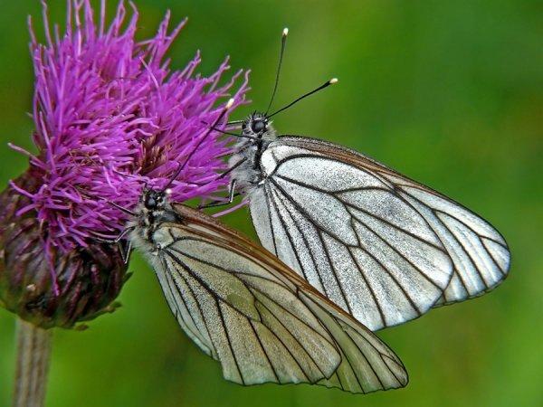 Тысячи бабочек напали на Новосибирск