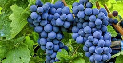 Ученые выявили неожиданное полезное свойство винограда
