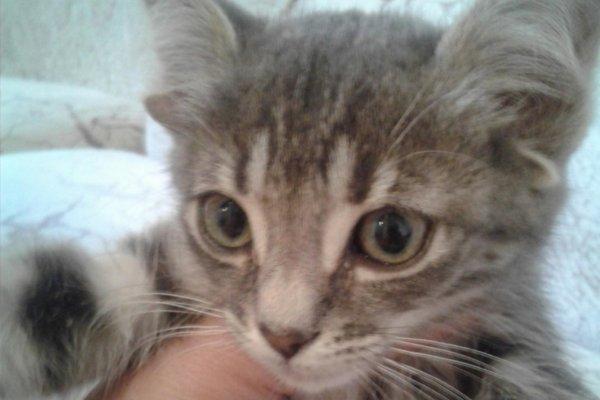 В Ростовской области обнаружен уникальный котенок-мутант с пятью ушами