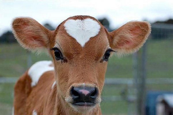 Теленок-мутант с двумя головами родился на ферме в Польше