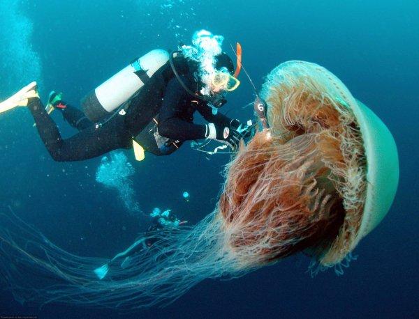 Гигантские ядовитые медузы оккупировали британские пляжи
