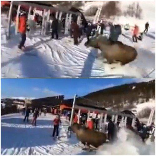 Россиянам на заметку! Дикий лось атаковал туристов на горнолыжном курорте Швеции